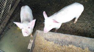 pesta porcina