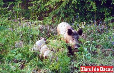 act.porc