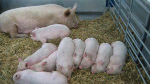 Prin prepararea termică a cărnii în gospodărie, virusul Pestei Porcine Africane nu se distruge. Sfaturi de la medicii veterinari băcăuani