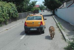 Bacău: Câine plimbat de lesă cu…taxiul. Cazul a ajuns în atenția poliției