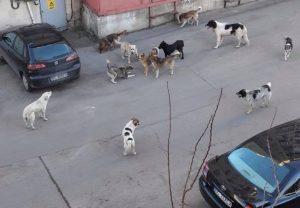 Crește periculos numărul maidanezilor din Onești. Primarul Gnatiuc recunoaște că a scăpat situația de sub control
