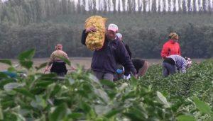 Zilierii, din ce în ce mai greu de găsit. Agricultorii băcăuani se confruntă cu lipsa forței de muncă
